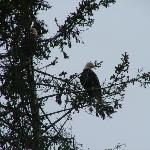 Eagles in Tree by Cottage