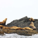 "excursion a partir de Tofino: ""sea lions"""