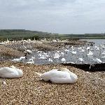 Nesting swans at Abbotsbury
