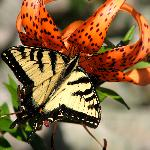 Swallowtail Butterfly in the garden at The Island Home
