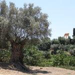 Giardino della Kolymbetra, sullo sfondo il Tempio dei Dioscuri
