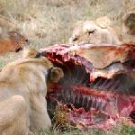 Lions having lunch