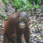 Gorgeous orphan orangutan at Shangri La's Rasa Ria Resort & Spa.