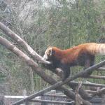 パンダ舎のとなりのレッサーパンダ