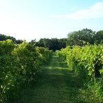 Organic vineyard - lovely to go walking through.