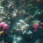 鹿島での珊瑚