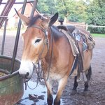 Suzie, one of our guide's mules.