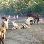 Cavalls a lloure a Playa Negra - Cahuita