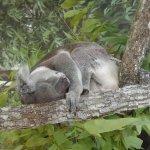 Koala Exhibit