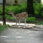 Deer wandering around park