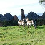 Some zebras roaming the camp