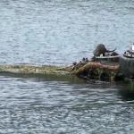 Otters in the harbour