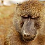 Baboons & Vervits Aufnahme