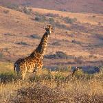 Giraffe near at Crystal Spring Lodge
