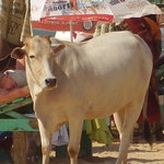 cow on candolim beach