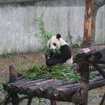 Panda ~
