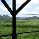 Appleton sugar cane fields