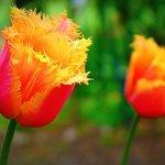Flowers at the University of Oxford Botanic Garden