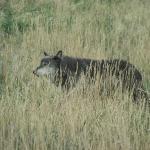 Beautiful shot of a wolf.