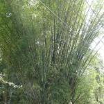: Huge bamboo tree