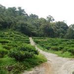 : Tea plantations!