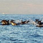 Dolphins off the coast of Lovina