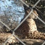 Cheetah at cheetah project
