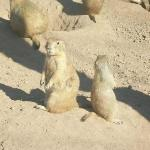 Prarie Dogs at the Phoenix Zoo