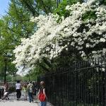 The dogwood were in full bloom -- beautiful!