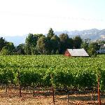 Typical Napa vineyard