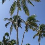 bajando cocos... de los cuales nunca vimos