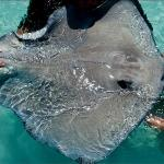 One of the large stingrays from Stingray City.  This one is approximately 4 foot acroos.