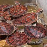 Green Turtles at the Grand Cayman turtle farm, 1 yr olds