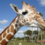 busch gardens ( open back safari - giraffe)
