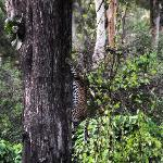 Leopard spotted at masinagudi enroute to ooty