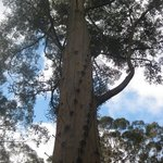 Dave Evans Bicentennial Tree Foto