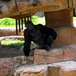 This gorilla is awesome!!