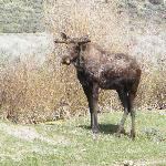 1 of many moose we saw