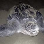 Gran tortuga Baula