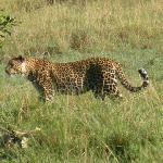 Leopard at Serian