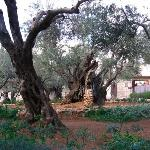 Sweet super-old trees in Gethsemane.