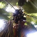 Coco de Mer, Vallée de Mai, Praslin