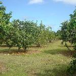 Citrus grove on the property!