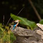 Grey-headed Kingfisher near B S Camp.