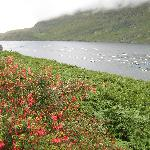Blooming fuschias along the Kilary Fjord