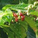 In the midst of a coffee plantation