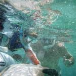 Our son rubs a nurse shark's belly while snorkeling in Belize.