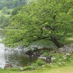 Tree overhanging Rydal Waters