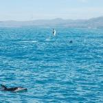 Dolphins at play in Kaikoura