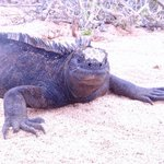 Marine Iguanas are found only in Galapagos and dive for algae.